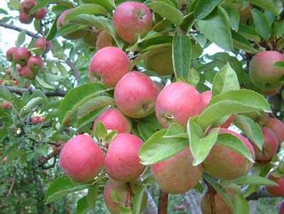 Amasya Elması