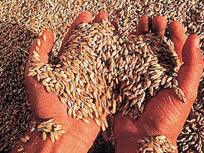 tahıl buğday