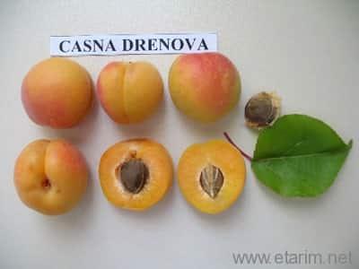 Casna Drenova