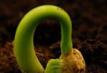 tohum çimlenme