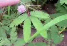 dokunulmayı sevmeyen bitki