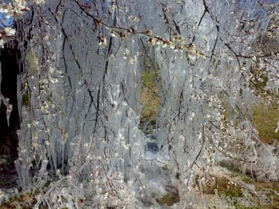 Don tutmuş kayısı ağacı