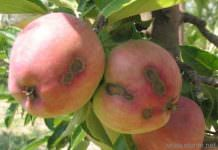 Elma Karaleke Hastalığı