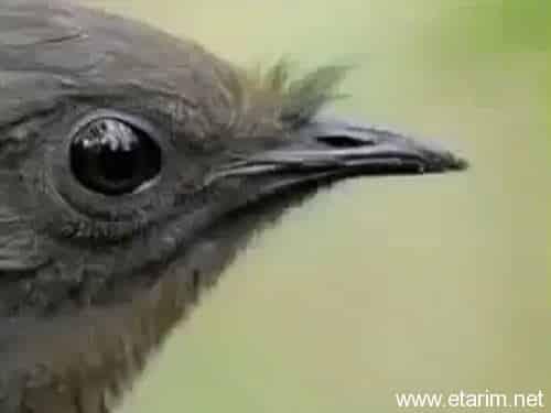 Lir Kuşu