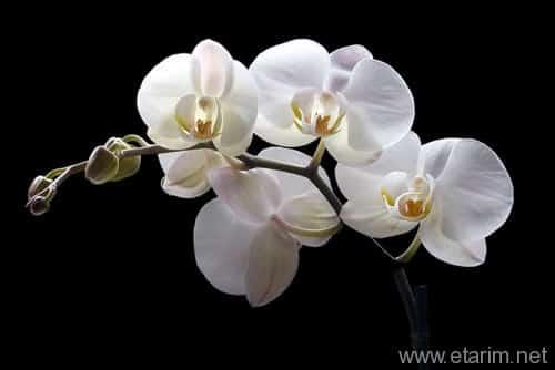 Orkide Çiçeği