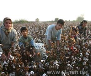 Pamuk toplayan çiftçiler