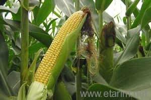 Silajlık mısır (corn silage)