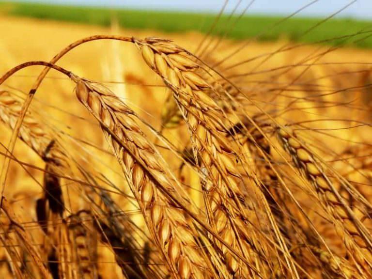 Buğday Tarlalarında Kökboğazı Hastalığı
