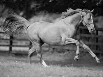 yarış atı