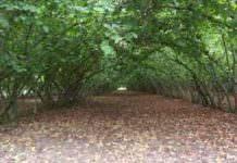 Düz Fındık Bahçesi