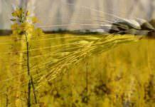 Buğday ve Kanola