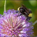 bumble bee-bombus-arısı