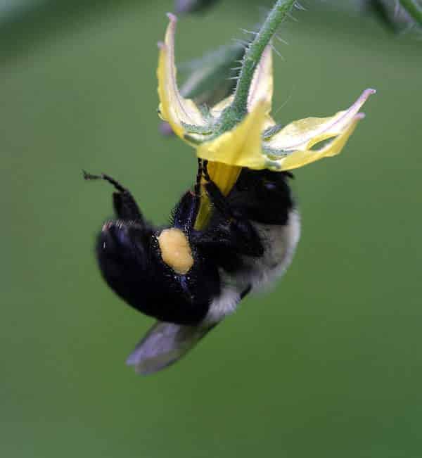 bumble bee-bombus arısı
