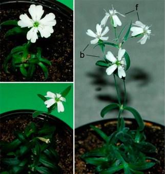 31 bin yaşında çiçek açtı