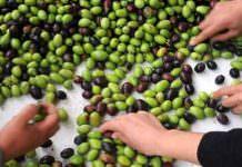 zeytin sınıflandırma