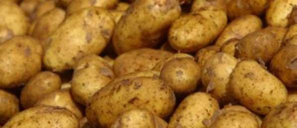 Patates üreticisine izin şartı