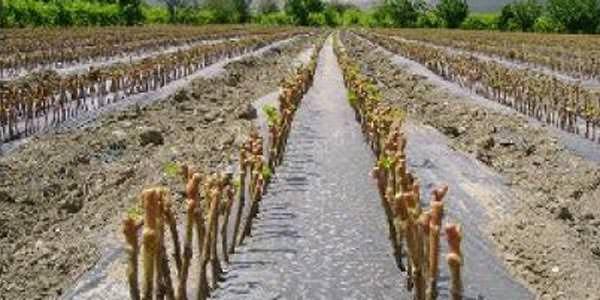 Asma, Meyve Ve Çilek Türlerine Ait Fidanların Sertifikasyon Sistemi Dahilinde Üretilmesi Esaslarında Değişiklik