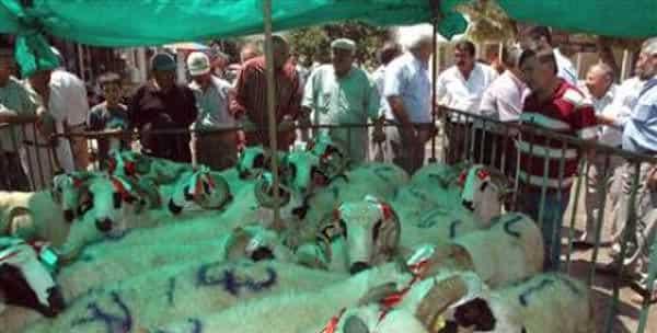 Çivril İlçesinde 11 Yetiştiriciye Koç Dağıtıldı