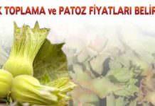 Giresun'da Fındık Toplama Ücretleri Belirlendi