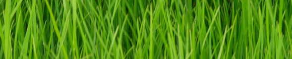 Çimlerdeki Hastalık ve Zararlılar