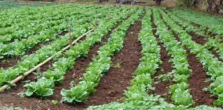 Marul ve Kıvırcık Salata Yetiştiriciliği