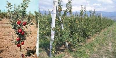 Meyveye yatmış 2 yaşında bodur elma fidanı (sol) ve tel-direk destek sistemi tesis edilmiş bodur elma bahçesi (sağ).