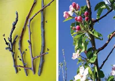 Elmada meyve dalları (sol) ve çiçekler (sağ); a) topuz b) kargı c) sürgün tomurcuğu d) çıtanak.