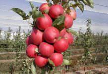 Elma (Malus domestica) Yetiştiriciliği