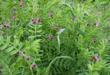 Fiğ (Vicia sativa) Yetiştiriciliği