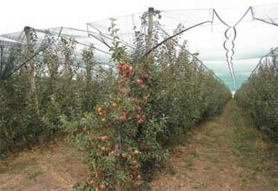 Modern elma yetiştiriciliğinin yapıldığı bodur bir elma bahçesi