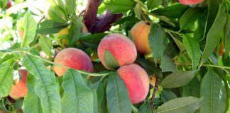Şeftali (Prunus persica ) Yetiştiriciliği