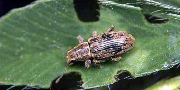 Mercimek Hortumlu Böceği