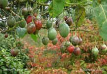 tamarillo meyvesi,tropik