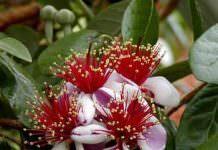 Feijoa(Acca) sellowiana,yetiştiricilik,tropikal