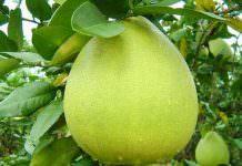 pomelo ağaç kavunu