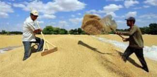üretime destek,bugday,hububat,yaglı tohum