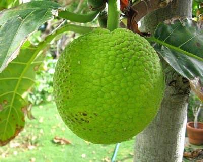 ekmek ağacı meyvesi