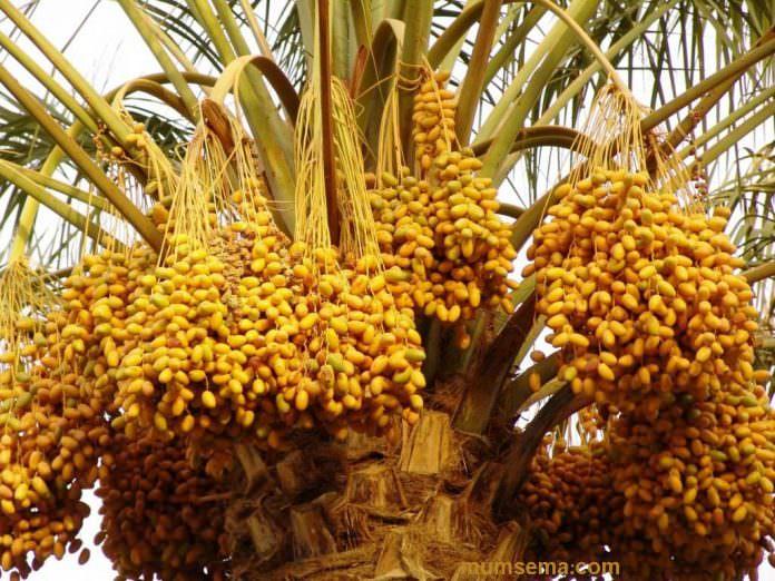 hurma ağacı ve özellikleri