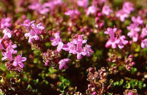 Kekik (Origanum, Thymus) Yetiştiriciligi