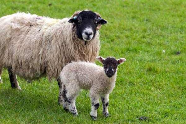 Koyun ve keçilere elektronik kimlik