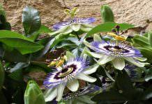 passiflora_caerulea