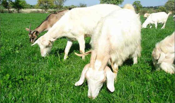 Yatırımcılar bu keçilerin peşinde koşuyor