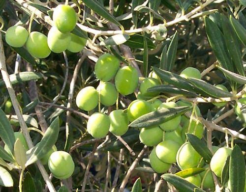 zeytin ihracatındaki artış