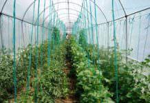 salatalık yetiştiriciliği