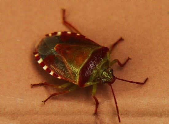 süne böceği