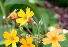 Prımula ( Çuha çiçeği) Beyaz Yada Yumuşak Çürüklük Hastalığı