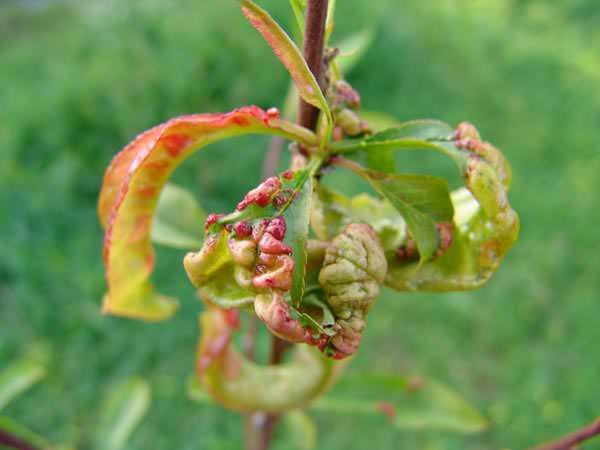 yaprak şişkinliği hastalığı