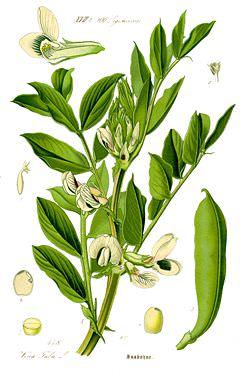 Bakla (Vicia faba L.) Yetiştiriciliği