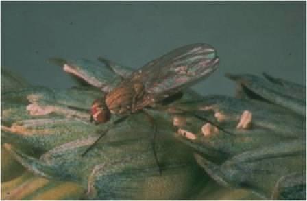 buğday sineği