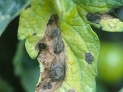 yaprak küfü hastalığı